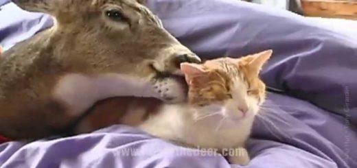 飼い鹿に愛されまくる茶白猫、舐められ続けて乱れる髪形