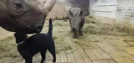 動物園の厩舎のなかになぜかいる猫、サイの親子を懐柔する