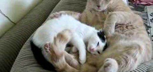眠たげな子猫にお腹を吸われた雄猫、離れても手は子猫のそばに
