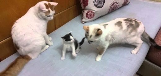 マイルドに我が子とじゃれる父親の猫、母猫からの物言いが付く