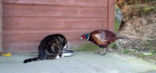 ご飯を取られて困惑する猫、罪を憎んでキジを憎まず