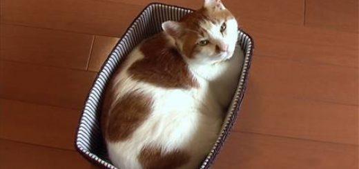 白地に茶色の幸せの印、背中に3つのハートを持つ猫