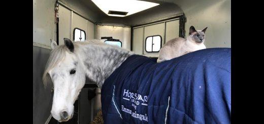 颯爽とお馬の背中に乗った猫、手綱も使わず乗りこなし