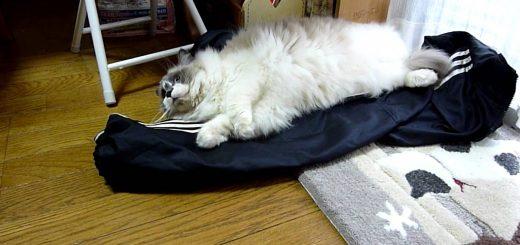 飼い主の着替えの上に横たわる猫、仕事へ行くのを全力で阻止