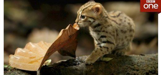 世界最小の野生猫、かわいい仕草はまるでイエネコ