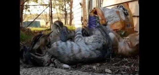 猫によるワンオペ育児の脆弱性、アヒルの雛に突破される