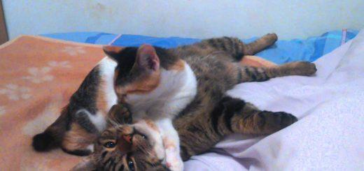 三毛猫に寝技を食らったキジトラ猫、フォールを決められそのまま就寝