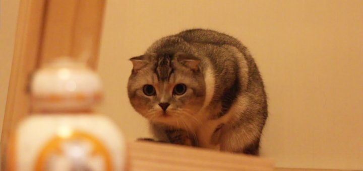 BB-8と戯れる猫、奇襲の頭突きで首級を上げる
