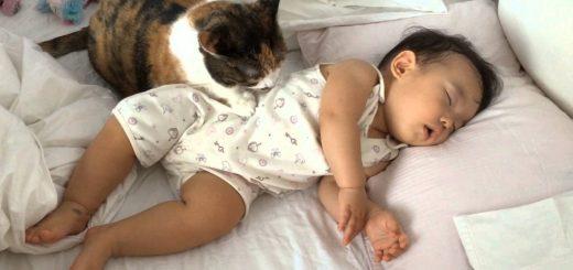 赤ん坊あやして毛づくろい、添い寝の三毛猫まるで姉さん