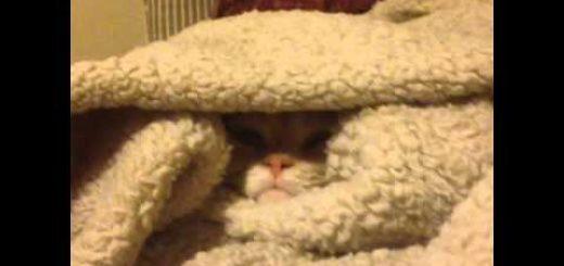 毛布に擬態する小さな子猫、毛布をめくられ抗議の一鳴き