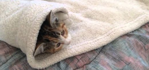 飼い主お手製三毛猫ブリトー、包まれたほうもまんざらでもなし