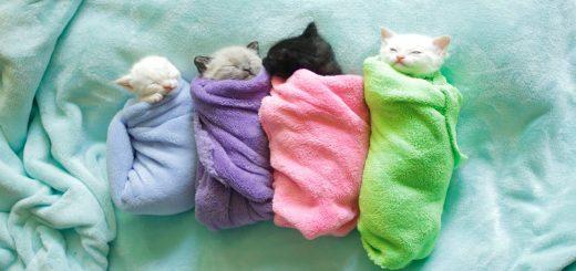 温々と毛布に包まるシャム猫4匹、見ているこちらも眠りの園へ