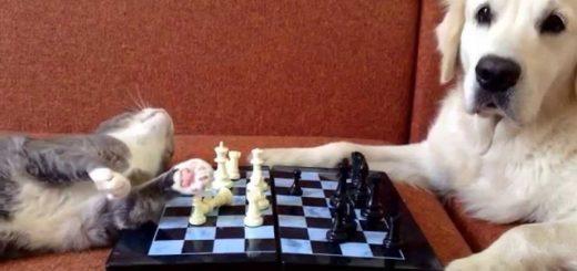 猫vs犬のチェス対局、刺客登場でプロレスに変更
