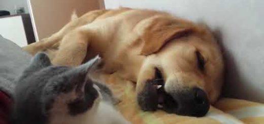 気持ちよく眠った犬を起こす猫、実力行使は失敗に終わる