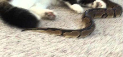 同居するニシキヘビに擦り寄る猫、寝転ぶ姿はまるで同類
