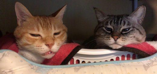眠りたい2匹の猫の根比べ、鼻を寄せ合いそのまま添い寝