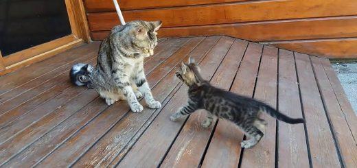 猫の母ちゃんやんちゃな子猫を毛づくろい、勢い余って千尋の谷へ落とす