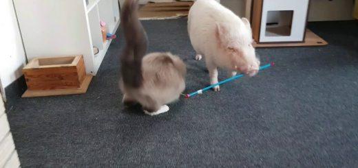 ブタさん運ぶよ猫じゃらし、飛びつき転がる猫を横目に