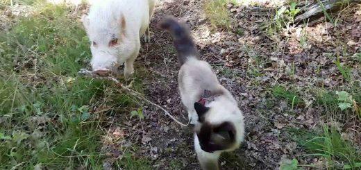木漏れ日の小径をお散歩猫とブタ、互いに相手を先導しながら