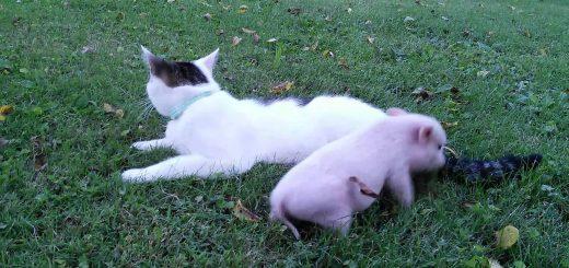 ブタさんに好かれる優しき黒白猫、嗅がれて噛まれてされるがままに