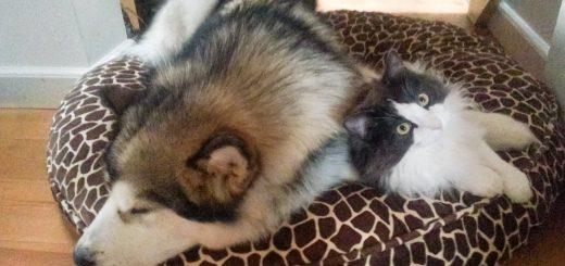 犬のベッドに押し入る猫、仲良くじゃれつつ一体化