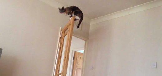 華麗なる忍者レベルの跳躍力、サビ猫佇むドアの上