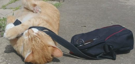 父ちゃんのバッグで遊ぶ茶トラ猫、実力行使で出勤を阻止