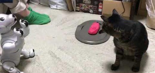 最新aiboと猫とが遭遇、鼻を突き合い猫はおののく