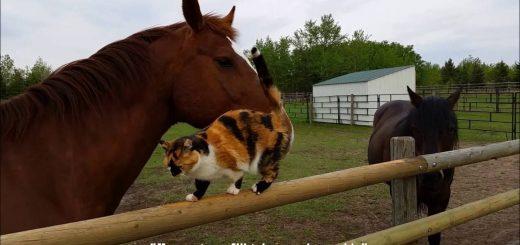 棒も馬も乗りこなす三毛の猫、馬の背に揺られ悠々自適