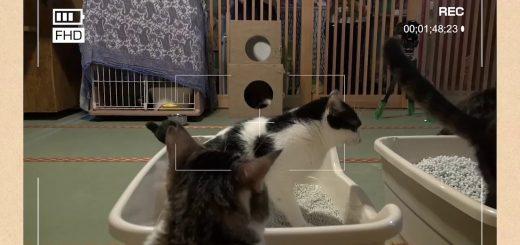 5つの種類のトイレ砂ダービー、猫たちはどこを選ぶか実証実験