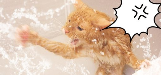 浴びても浴びてもシャワーのお湯に動じない猫、怯むどころか獅子奮迅