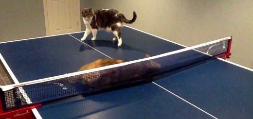 2匹の猫の卓球台バトル、ネットを伝って高速移動