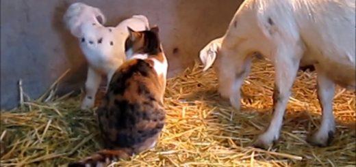 親ヤギの寵愛受ける三毛の猫、親子の間に割って入って