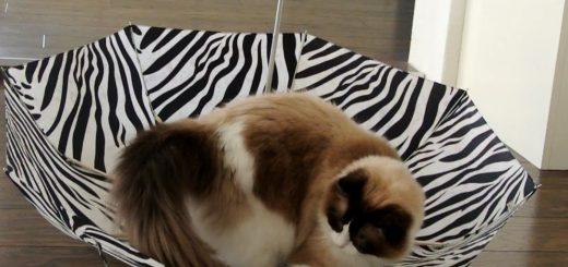 流行の傘猫のいわば逆さま版、猫は興奮ワイルドモードに