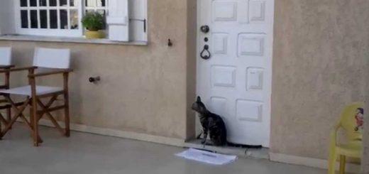 玄関に佇む器用なキジトラ猫、ドアノッカーでスマートに開扉
