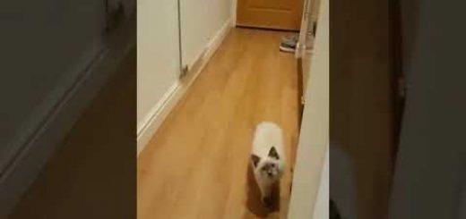 """""""だるまさんがころんだ""""のルールを習得している猫、最後はしっかり鬼へのタッチ"""