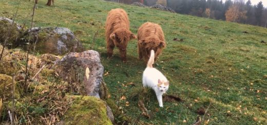ハイランド牛の親子に追われる猫、仔牛を従え草を食む