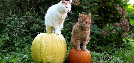 ハロウィーンの巨大なカボチャに乗った猫、見回す姿はDJポリスか