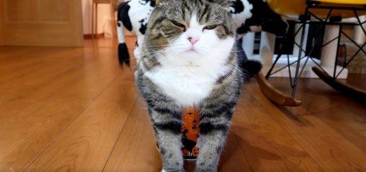 ハロウィーンのバーレルの中に収まる猫、かわいさあふれて収まりきれず