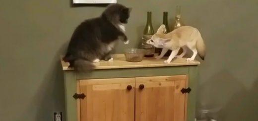 フェネックを寸止めパンチで迎撃する猫、盗難被害を最小限に抑制