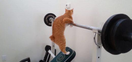 ベンチプレスで筋トレする猫、鍛えるところは人と異なり