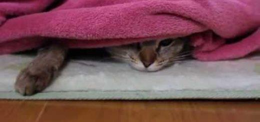 「遊びたい」と「温もりたい」を両立する猫、目付きは鋭く動きはやんわり