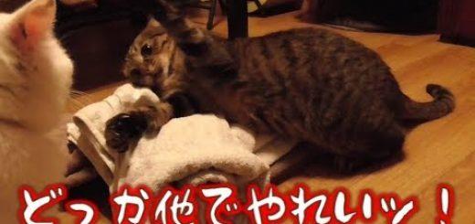 洗濯物の頂上巡りて攻防する猫、取って取られてまた取って