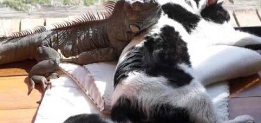 仲良く日なたぼっこの猫たち、猫に埋もれイグアナも一緒に