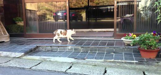 顔パスで温泉旅館に出入りする猫、慣れた足取りまるで常連
