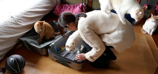 4匹の猫が争う陣取り合戦、スーツケースと飼い主の手と