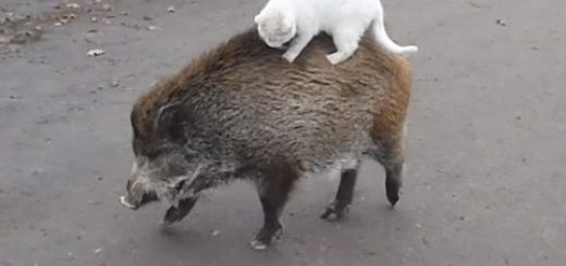 動き回るイノシシの背に乗る白猫、次の干支の座狙うかのごとく