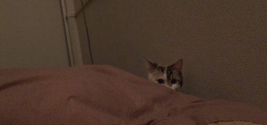 仕事始めの気持ちを布団に引き戻す猫、自ら率先して布団へ