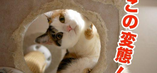 下から覗き見された三毛猫、カメラに向かってダイブのサービス