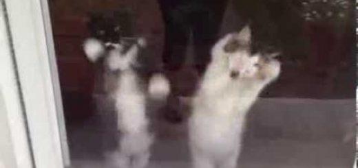 窓に向かいて立ち上がる猫、脚を掻き掻き腹をゆらゆら
